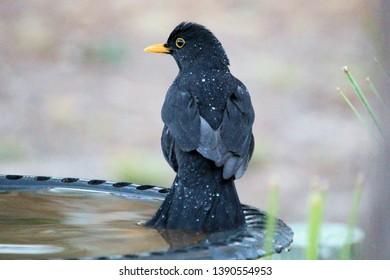 Common Blackbird, Eurasian Blackbird (Turdus merula), introduced bird, bathing, South Australia