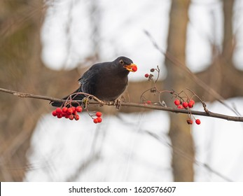 Common blackbird feeds on red berries. Male Common blackbird (Turdus merula) eats red berries in winter. A Common Blackbird (Turdus merula) retrieving a berry from a tree.