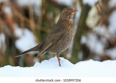 Common blackbird female (Turdus merula) standing on a snow