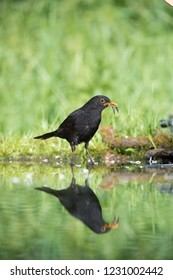 Common Blackbird is fishing to feed his chicks, Turdus merula, Blackbird has got two fishes in his beak. Nice mirroring reflection on surface of forest waterhole, nice bright green backround