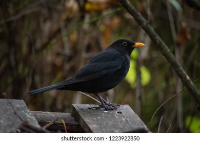 Common blackbird isolated