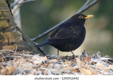 Common Blackbird male sitting on the ground and looking for food in the cold winter, Eurasian Blackbird, Turdus merula - City Park Schwarzer See, Garbsen, Lower Saxony, Northern Germany