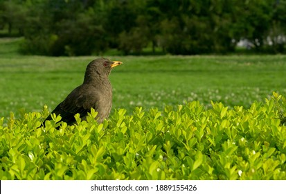 Common blackbird, male, Turdus merula, is a common bird of the animalia kingdom, its phylum is chordata and its order is passeriformes. It is in a garden and has copy space.