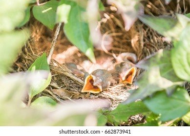 Common Blackbird nest with several chicks inside