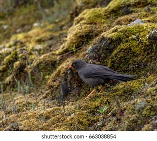Common blackbird on Andean paramo, Ecuador