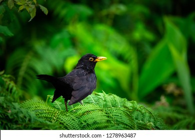 common Blackbird on a beautiful green background in the forest of the Azores. The blackbird is in danger because of the usutu virus.