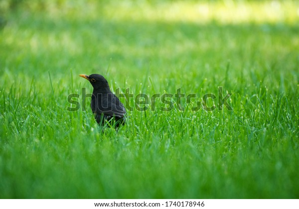 common-blackbird-on-grass-morning-600w-1