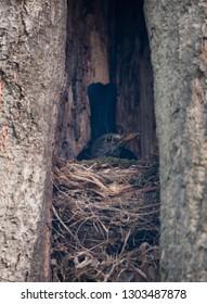 Common blackbird on the nest