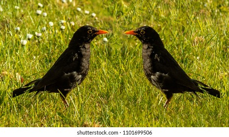 Common blackbird - ornithology - fauna and flora