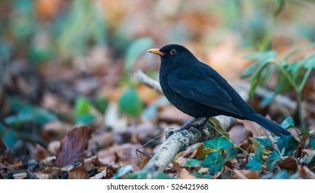 Common blackbird perched on the forest floor during autumn