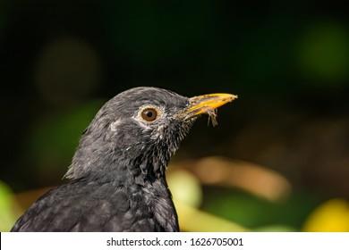 Common blackbird portrait. Close-up common blackbird. Looking at the camera. Turdus merula. It is also called Eurasian blackbird.