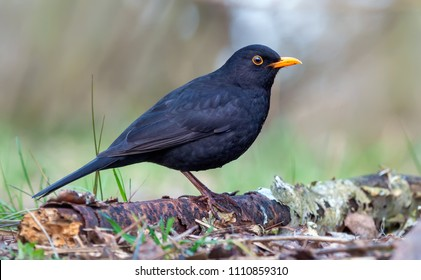 Common blackbird posing on old branch at the forest floor