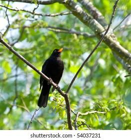 Common Blackbird singing