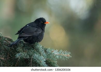 Common blackbird sits on the spruce branch, close up, natural environment,Turdus merula, Czech Republic