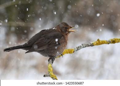 The common blackbird with snowflakes, Czech republic
