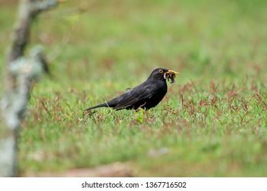 The common blackbird is a species of true thrush. It is also called Eurasian blackbird, or simply blackbird