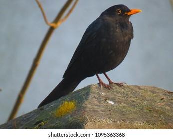 common blackbird, Turdus merula,