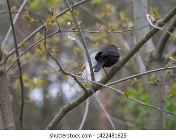 The common blackbird, Turdus merula also called Eurasian blackbird sitting on the tree branch, springtime