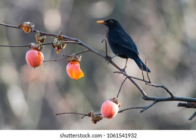 Common blackbird (Turdus merula) eating kaki (cachi) (Diospyros kaki)