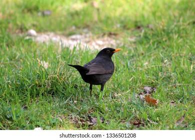 Common blackbird or Turdus merula or Eurasian blackbird or Blackbird small black bird with bright yellow eye ring and beak standing on uncut grass overlooking surroundings on warm spring day