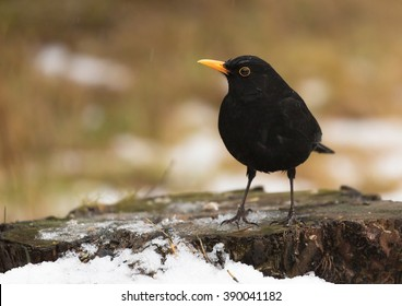 Common blackbird (Turdus merula) Eurasian blackbird.