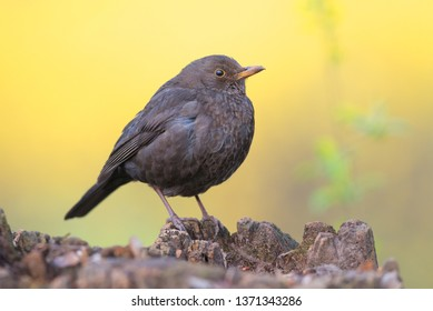 Common blackbird (Turdus merula). Female bird on yellow background