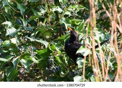 Common blackbird, Turdus merula, foraging fruits of ivy