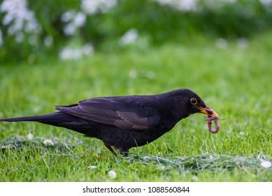 The common blackbird (Turdus merula) in garden with earthworm in beak.