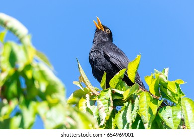 Common blackbird (Turdus merula) male sits in the tree and sings