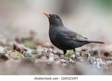 Common Blackbird - Turdus merula. Photo was taken in Ukraine