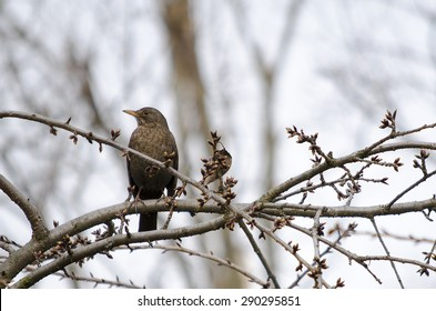 Common Blackbird (Turdus merula)-female