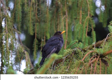 Common blackbird,Eurasian blackbird (Turdus merula)-male
