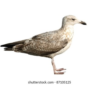 Common Black-headed Gull isolated on white background, Larus ridibundus