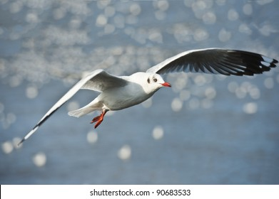 Common black-headed gull in Thailand