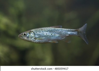 Common bleak (Alburnus alburnus). Wildlife animal.