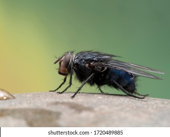 Common blowfly or bottle fly (Calliphora vicina) resting on a stone. One of the most important fly species for forensic entomology. Photographed in Delta, British Columbia