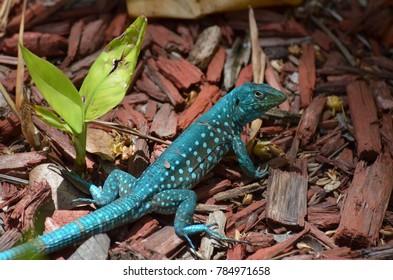 Common blue Aruban whiptail lizard in the wild.
