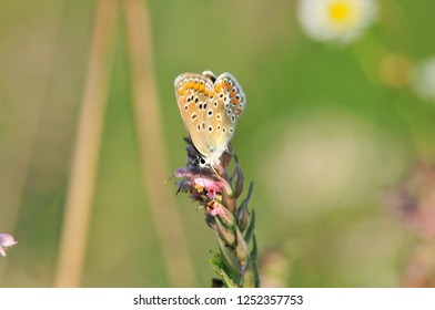 The common blue butterfly is a butterfly in the family Lycaenidae, female.