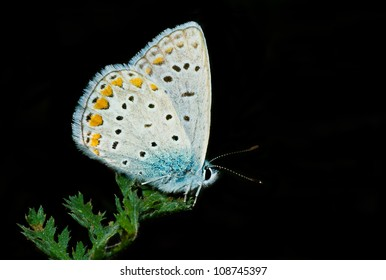 Common Blue butterfly having rest on a green leaf isolated on a black background.