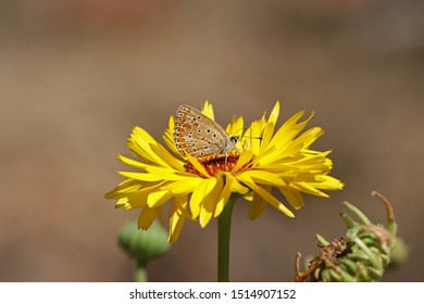 common blue butterfly Latin polyommatus icarus boalensis at rest on a wild yellow daisy also called yellow chrysanthemum maxim or shasta daisy with an orange centre close up in summer in Italy