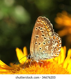 Common blue butterfly nectaring on a yellow flower.