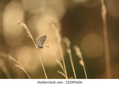 Common blue butterfly on grass halm against the light