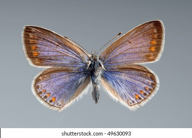Common Blue butterfly. Polyomathus icarus, female