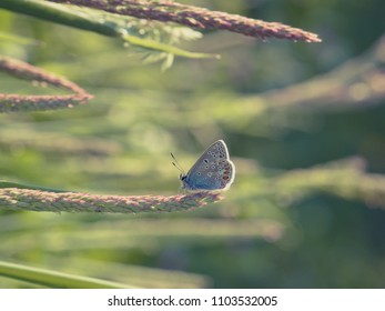 Common blue butterfly (Polyommatus icarus) male, vintage look