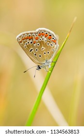 Common Blue butterfly - Polyommatus icarus, beautiful colored buttefly from European meadows and grasslands.