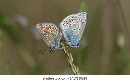 Common Blue Butterfly - Polyommatus icarus