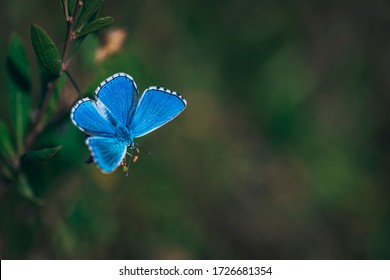 The common blue butterfly (Polyommatus icarus),  butterfly on grass background, Lycaena, beautiful butterfly on a background of green grass background