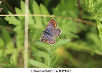 Common blue butterfly while sunbathing