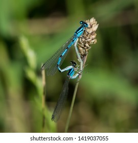 Common Blue Damselflies Mating in Summer