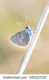 Common blue icarus butterfly on leaf (polyommatus icarus)